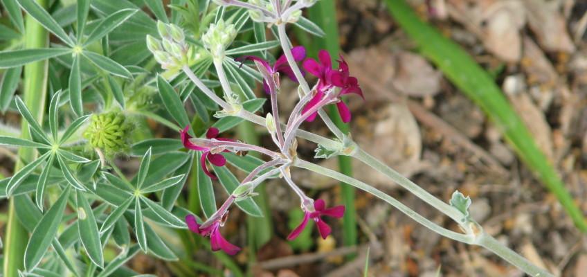 Umckaloabo – bylinný lék spříběhem